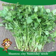 Suntoday noms scientifiques de légumes F1 Extrait de plante d'eau organique bio russe en Inde bulgaria graines de coriandre (A43001)