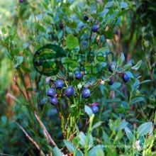 Alta Qualidade IQF congelado Blueberry selvagem