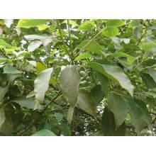 Pure Ho Leaf Эфирное масло 10 мл