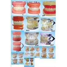 Оборудование для устного образования в области образования Стандартная модель зубоврачебных зубов