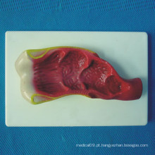 Modelo médico de anatomia do corpo humano Rectum (R100206)