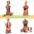 Modelos Didácticos Anatomía del Torso Humano Plástico con Órganos Removibles