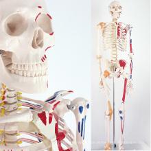 SKELETON08 (12369) Ciência Médica Natureza Vida Tamanho 170CM Esqueleto com Músculos e Ligamentos, 170cm Modelo de Esqueleto