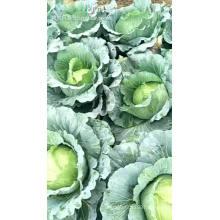Brassica oleracea vegetable  purple cabbage  seeds planter