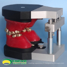 DENTAL06 (12565) Dents orthodontiques dentaires Typodont Models