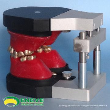 DENTAL06(12565) Зубоврачебные Ортодонтические зубов Typodont моделей