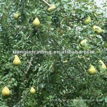 ya pear price in China