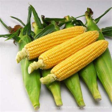 RCO01 Tidu Sweet f1 hybride champ élevé graines de maïs sucré chinois à vendre