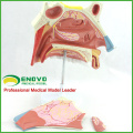 THROAT07(12513) Medical Science Anatomical Model of Human Nasal Cavity