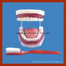Modelos de Educación Modelo de Cuidado Dental de Cepillado de Dientes