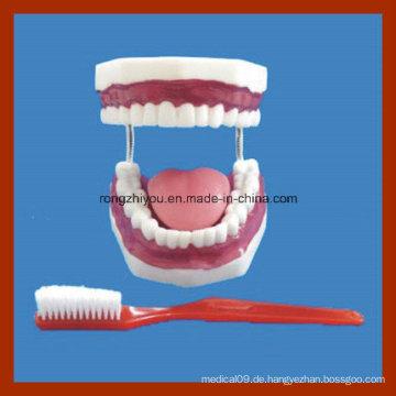 Bildungsmodelle Zahnbürste Zahnpflege Modell