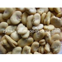 Broad Beans (split) Nouveau