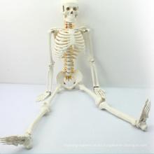 SKELETON05 (12365) Modelo de Anatomía Esqueleto Medio de Ciencias Médicas con Nervio Espinal, Modelo de Esqueleto de 85 cm, Mejor Regalo para el Doctor