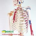SKELETON08 (12369) Medizin Wissenschaft Natur Leben Größe 170cm Skelett mit Muskeln und Bändern, 170cm Skelett-Modell