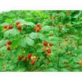 IQF Freezing Organic Raspberry Hr-16090901