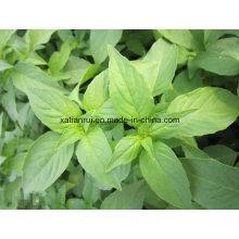 Manufacturer Herba Schizonepetae Jingjie Extract Powder