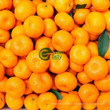 Frais première qualité nombril Orange