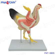 PNT-0825 Modelo anatômico de frango e galinha em tamanho natural
