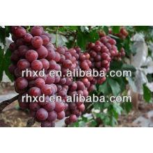 China yunnan Hong ti grapes