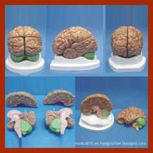 4 Partes Anatomía Cerebral Modo / Anatomía Modelo Cerebral / Modelo Cerebral para la Enseñanza Médica
