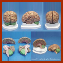 4 части Мозговой анатомический режим / анатомия Модель мозга / модель мозга для медицинского обучения