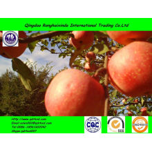 2014 new crop iranian fresh apple