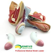 VENDER 12447 Insertar biomateriales masculinos bisecados Modelos de próstata de vejiga urinaria