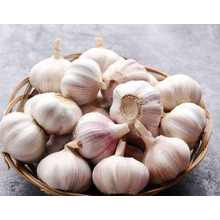 Chines Cold Storage New Purple Garlic