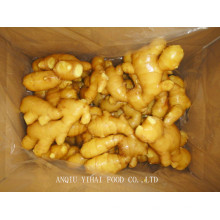 Professional Exporting Fresh Ginger/Air Dry Ginger