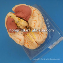 ISO Advanced Brain Anatomical model, 3D brain model