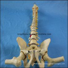 Размер жизни Человеческий позвоночник Позвоночник с тазобедренным сундуком с головкой головы Femur