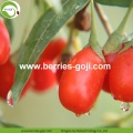 Fuente de la fábrica Fruit Nutrition Anti Tumor Goji Berries
