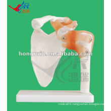 HR-109 Life-size the model of shoulder joint with ligaments
