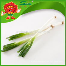 2015 Fresh Chinese green Chive new crop with top quality