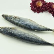 Frutos do mar congelados e frescos de cavala do Pacífico atacado