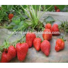 MSB01 Honghuo nuevas semillas de fresa de alto rendimiento para la venta
