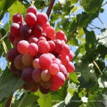 Высокое качество красный глобус виноград свежий прайс виноград