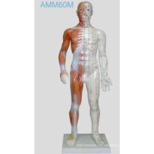 Modelo humano de la acupuntura los 55cm