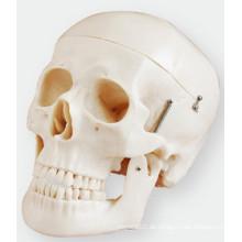 Skull Model Simulation besteht aus drei Teilen der Life-Size