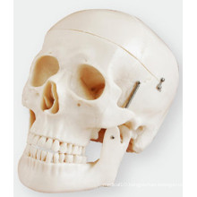 Skull Model Simulation Consists of Three Parts of The Life-Size