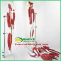 MUSCLE04 (12026) Partes de los músculos de la pierna con vasos principales y nervios (Modelo anatómico) 12026