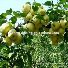 Birnenpreis in China