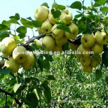 pear price in China