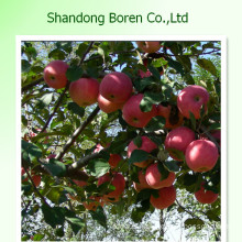 2015 New Crop of Fresh Royal Gala Apple From China