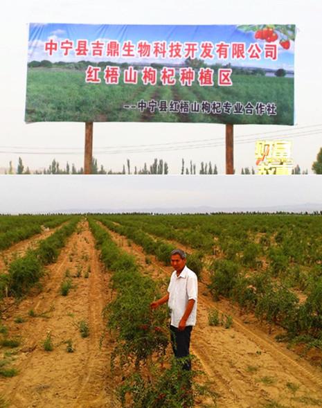 Goji berry planting farm-Zhongning Jiding Bio Science