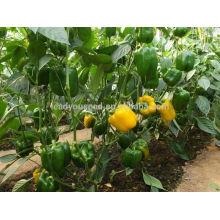 SP25 Jinkou f1 hybride jaune capsicum graines de poivrons graines