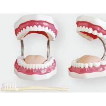 Zahnpflege Modell (32 Zähne)