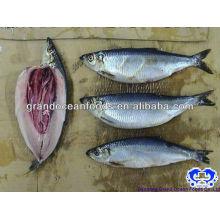 frozen herring fish fillet IQF