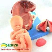 VENDA 12470 modelo de anatomia procedimento parto parto humano consiste