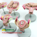 ANATOMY12(12450) Classic Pregnancy 8-Model Series Set, Anatomy Female Pregnancy Models 12450